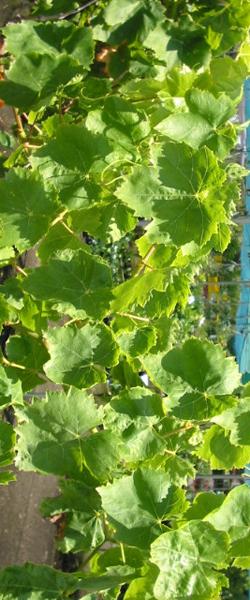 עדכון מעודכן הגפן בגינה PW-65